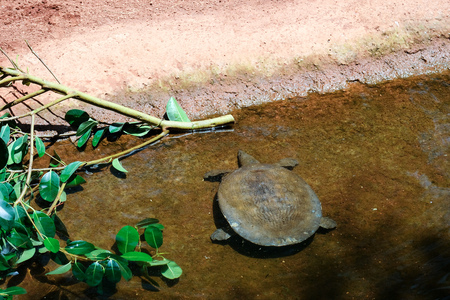 FUENGIROLA, ANDALUCIASPAIN - JULY 4 : Turtle in the Bioparc Fuengirola Costa del Sol Spain on July 4, 2017