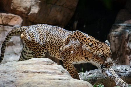FUENGIROLA, ANDALUCIASPAIN - JULY 4 : Leopard Prowling in the Bioparc in Fuengirola Costa del Sol Spain on July 4, 2017 Editorial