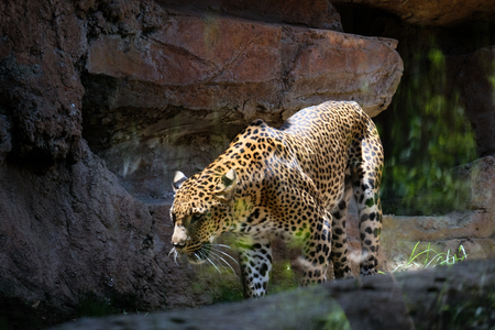 FUENGIROLA, ANDALUCIASPAIN - JULY 4 : Leopard Prowling in the Bioparc in Fuengirola Costa del Sol Spain on July 4, 2017 Stock Photo