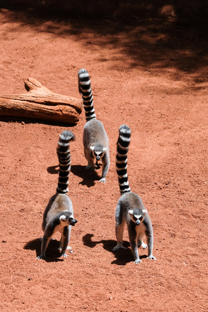 FUENGIROLA, ANDALUCIA/SPAIN - JULY 4 : Ring-tailed Lemurs (Lemur catta) at the Bioparc in Fuengirola Costa del Sol Spain on July 4, 2017 Stock Photo - 82140966