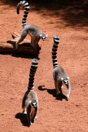FUENGIROLA, ANDALUCIA/SPAIN - JULY 4 : Ring-tailed Lemurs (Lemur catta) at the Bioparc in Fuengirola Costa del Sol Spain on July 4, 2017 Stock Photo - 82140856