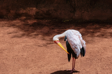 FUENGIROLA, ANDALUCIASPAIN - JULY 4 : Yellow-Billed Stork (Mycteria ibis) at the Bioparc in Fuengirola Costa del Sol Spain on July 4, 2017