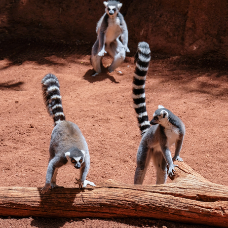 FUENGIROLA, ANDALUCIA/SPAIN - JULY 4 : Ring-tailed Lemurs (Lemur catta) at the Bioparc in Fuengirola Costa del Sol Spain on July 4, 2017 Stock Photo - 82152900