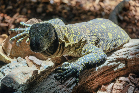 FUENGIROLA, ANDALUCIASPAIN - JULY 4 : Monitor Lizard at the Bioparc in Fuengirola Costa del Sol Spain on July 4, 2017 Editorial