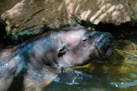 FUENGIROLA, ANDALUCIASPAIN - JULY 4 : Pygmy Hippopotamus (Choeropsis liberiensis or Hexaprotodon liberiensis) at the Bioparc in Fuengirola Costa del Sol Spain on July 4, 2017