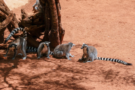 FUENGIROLA, ANDALUCIA/SPAIN - JULY 4 : Ring-tailed Lemurs (Lemur catta) at the Bioparc in Fuengirola Costa del Sol Spain on July 4, 2017 Stock Photo - 82140968