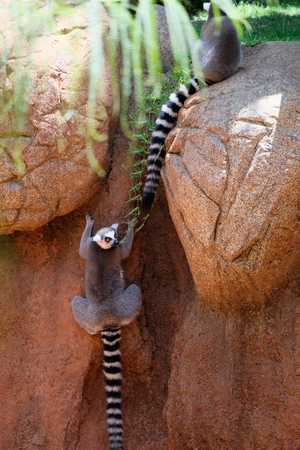 FUENGIROLA, ANDALUCIASPAIN - JULY 4 : Ring-tailed Lemurs (Lemur catta) at the Bioparc in Fuengirola Costa del Sol Spain on July 4, 2017