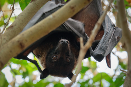 FUENGIROLA, ANDALUCIASPAIN - JULY 4 : Flying Fox Bat (Pteropus) at the Bioparc in Fuengirola Costa del Sol Spain on July 4, 2017