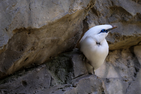 FUENGIROLA, ANDALUCIA/SPAIN - JULY 4 : Bali Starling (Leucopsar rothschildi) at the Bioparc Fuengirola Costa del Sol Spain on July 4, 2017 Stock Photo - 82140828