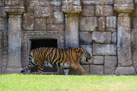 FUENGIROLA, ANDALUCIASPAIN - JULY 4 : Sumatran Tiger at the Bioparc in Fuengirola Costa del Sol Spain on July 4, 2017