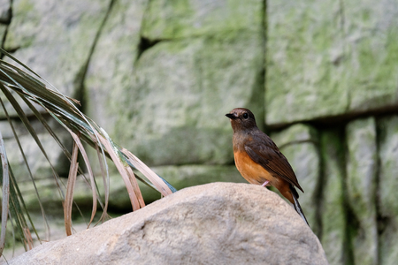FUENGIROLA, ANDALUCIASPAIN - JULY 4 : White-rumped Shama (Copsychus malabaricus) at the Bioparc Fuengirola Costa del Sol Spain on July 4, 2017