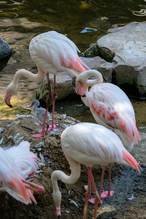 FUENGIROLA, ANDALUCIASPAIN - JULY 4 : Greater Flamingos (Phoenicopterus roseus) at the Bioparc Fuengirola Costa del Sol Spain on July 4, 2017 Stock Photo