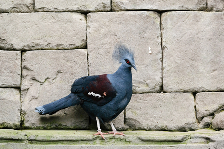 FUENGIROLA, ANDALUCIASPAIN - JULY 4 : Southern Crowned Pigeon (Goura scheepmakeri sclateri) at the Bioparc Fuengirola Costa del Sol Spain on July 4, 2017 Stock Photo
