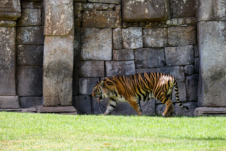 panthera tigris sumatrae: FUENGIROLA, ANDALUCIASPAIN - JULY 4 : Sumatran Tiger at the Bioparc in Fuengirola Costa del Sol Spain on July 4, 2017