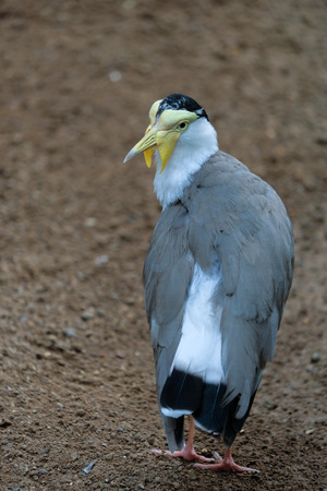 FUENGIROLA, ANDALUCIASPAIN - JULY 4 : Masked Lapwing (Vanellus miles) at the Bioparc Fuengirola Costa del Sol Spain on July 4, 2017 Editorial
