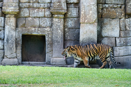 FUENGIROLA, ANDALUCIASPAIN - JULY 4 : Sumatran Tiger at the Bioparc in Fuengirola Costa del Sol Spain on July 4, 2017