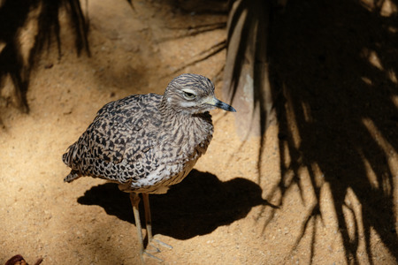 Spotted Thick-knee (Burhinus capensis) Costa del Sol Spain
