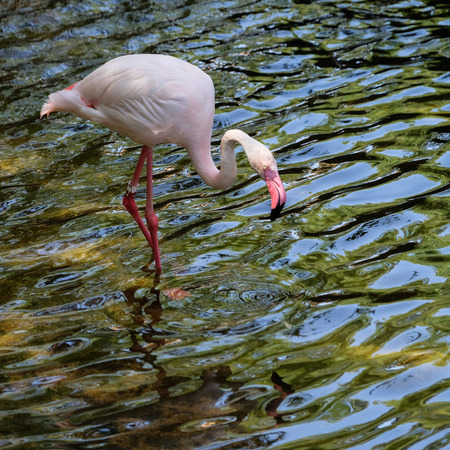 FUENGIROLA, ANDALUCIA/SPAIN - JULY 4 : Greater Flamingos (Phoenicopterus roseus) at the Bioparc Fuengirola Costa del Sol Spain on July 4, 2017 Stock Photo - 82388552