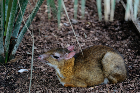 FUENGIROLA, ANDALUCIASPAIN - JULY 4 : Java Mouse Deer (Tragulus javanicus) at the Bioparc in FuengirolaCosta del Sol Spain on July 4, 2017