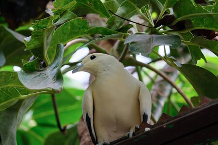 FUENGIROLA, ANDALUCIA/SPAIN - JULY 4 : Yellow Dove at the Bioparc in Fuengirola Costa del Sol Spain on July 4, 2017 Stock Photo - 82153288