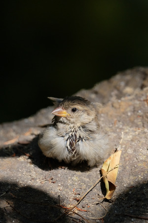 Baby Sparrow (Passeridae) Resting on a Rock in the Sunshine Editorial