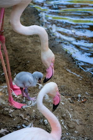 FUENGIROLA, ANDALUCIASPAIN - JULY 4 : Greater Flamingos (Phoenicopterus roseus) at the Bioparc Fuengirola Costa del Sol Spain on July 4, 2017 Editorial