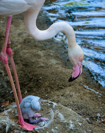 FUENGIROLA, ANDALUCIA/SPAIN - JULY 4 : Greater Flamingos (Phoenicopterus roseus) at the Bioparc Fuengirola Costa del Sol Spain on July 4, 2017 Stock Photo - 82140848