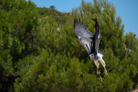 striated: BENALMADENA, ANDALUCIASPAIN - JULY 7 : Chilean Blue Eagle at Mount Calamorrow near Benalmadena in Spain on July 7, 2017