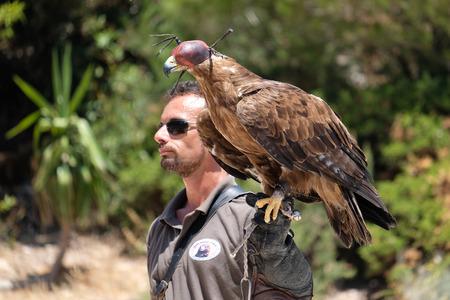 BENALMADENA, ANDALUCIASPAIN - JULY 7 : Golden Eagle (Aquila chrysaetos) at Mount Calamorrow near Benalmadena in Spain on July 7, 2017. Unidentified man