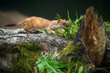 Least Weasel (Mustela nivalis)