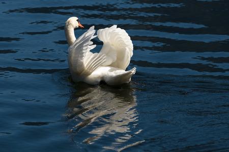Sunlit Mute Swan on Lake Hallstatt Stock Photo