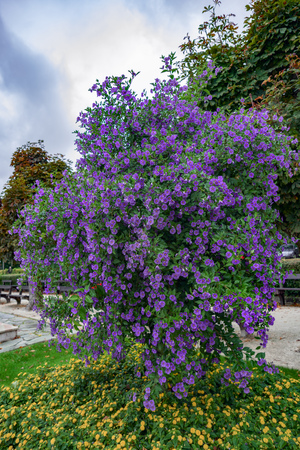 Solano Bush (Solanum rantonnetii) Flowering iSt Wolfgang Stock Photo