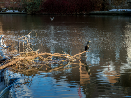 Cormorant standing on a fallen tree stuck in the weir on the River Wear in Durham