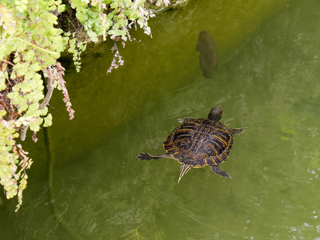 Terrapin in the Moat Around the Bandstand in Tavira Portugal Stock Photo