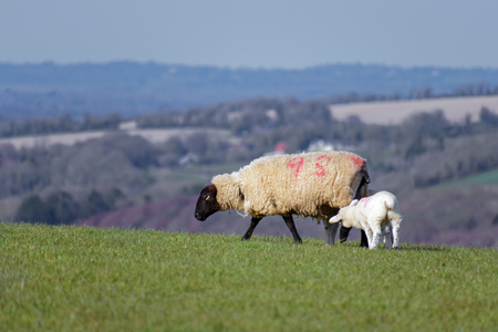 Sheep at Home on the South Downs in Sussex