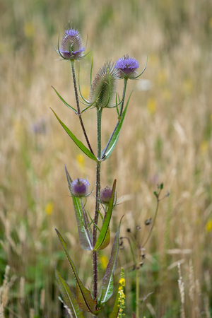 Teasels (Dipsacus) flowering in the Sussex countryside Stock Photo