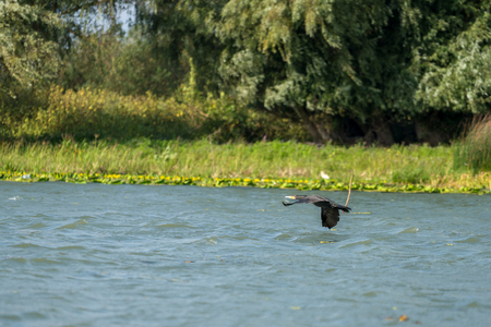 Cormorant flying along the Danube Delta