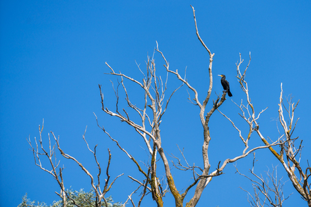 Great Cormorant (phalacrocorax carbo) perched in a tree in the Danube Delta