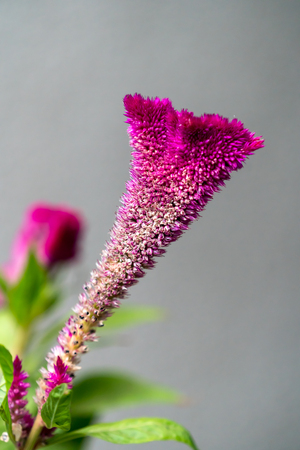 Celosia argentea var. cristata flowering in a garden in Romania Stock Photo