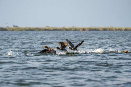 Great Cormorants (phalacrocorax carbo) in the Danube Delta
