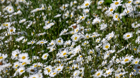 Meadowmat Common Daisy wild flowers in full bloom Stock Photo