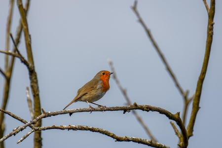 Robin (erithacus rubecula) perched on a branch in springtime