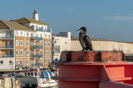 BRIGHTON, SUSSEXUK - JANUARY 8 : Cormorant standing on a red structure at the Marina in Brighton Sussex on January 8, 2019