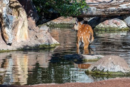 Sitatunga Antelope at the Bioparc in Valencia Spain