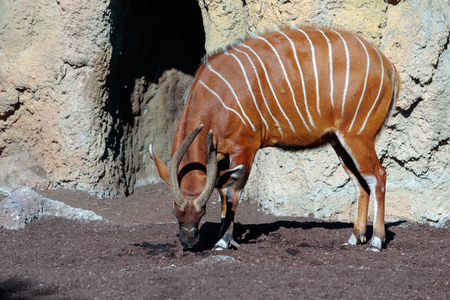 Bongo at the Bioparc in Valencia Spain