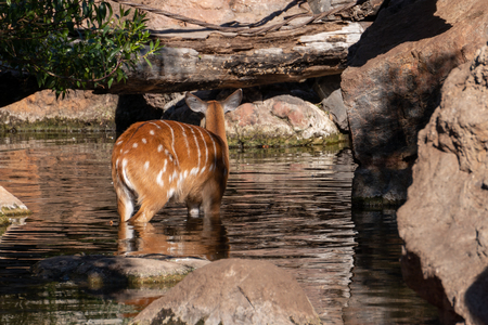 Sitatunga Antelope at the Bioparc in Valencia Spain Stock Photo - 119405149