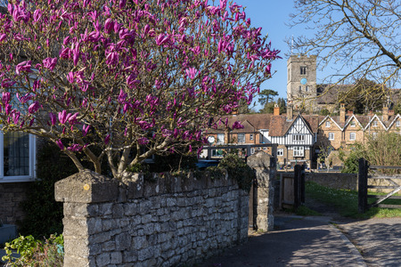 View of a colourful Magnolia tree flowering at Aylesford