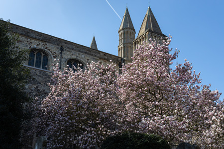 View of a Magnolia tree flowering in front of the Cathedral in Rochester