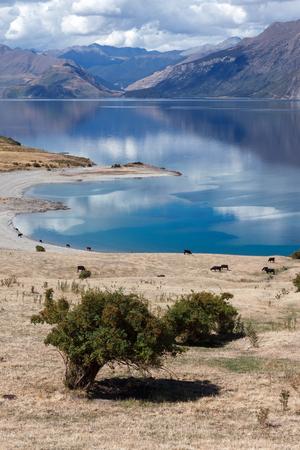 Cattle grazing on the land surrounding Lake Hawea Stockfoto