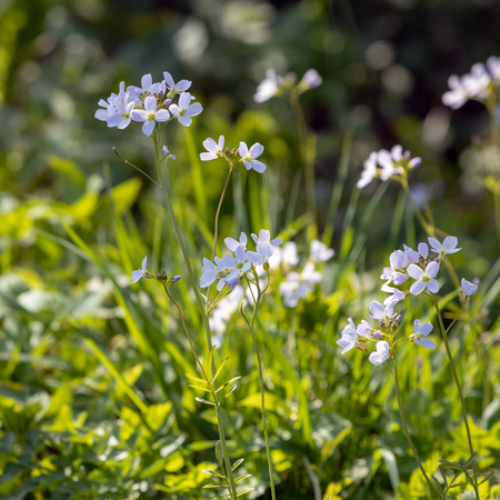 Cuckoo flowers (Cardamine pratensis) flowering in the spring sunshine at Birch Grove in East Sussex